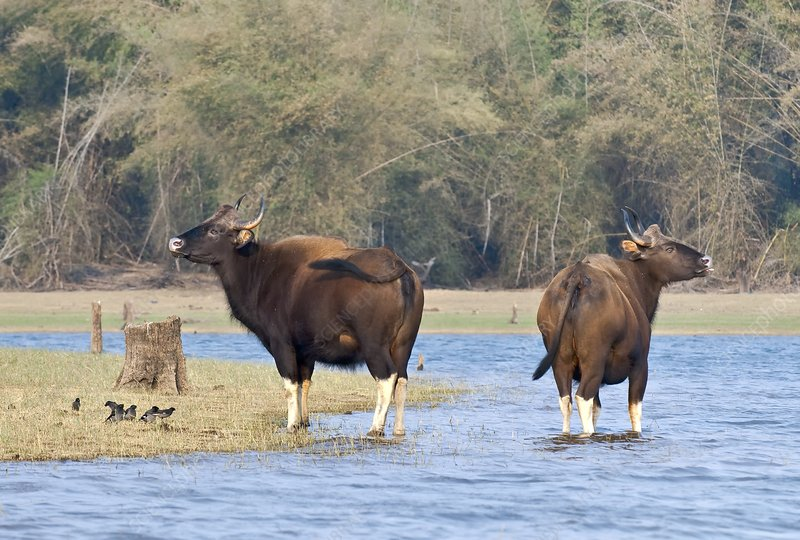 Gaur at a river, India