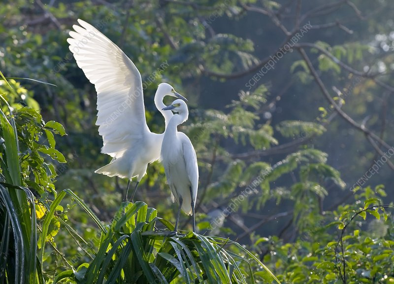 Intermediate egret pair