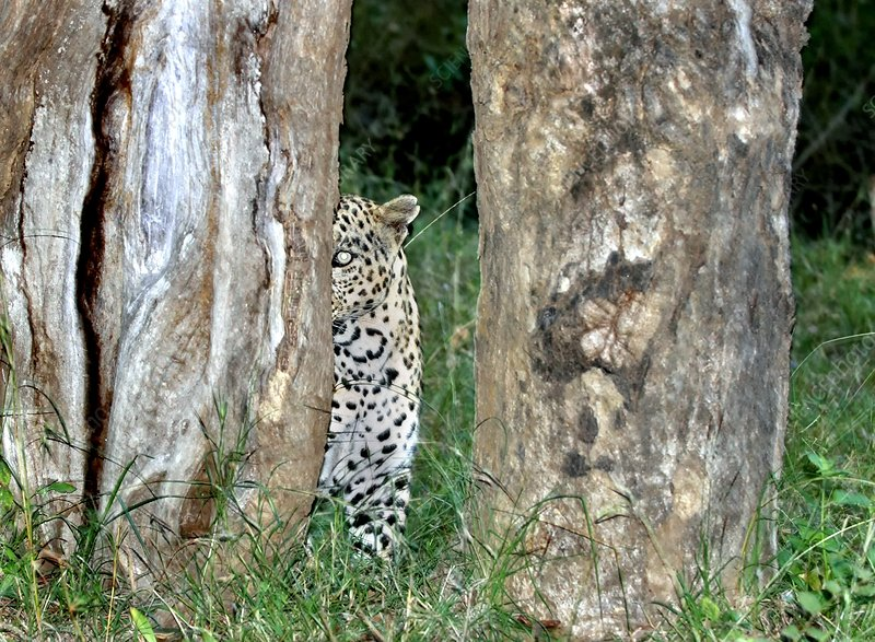 Leopard hiding amongst trees