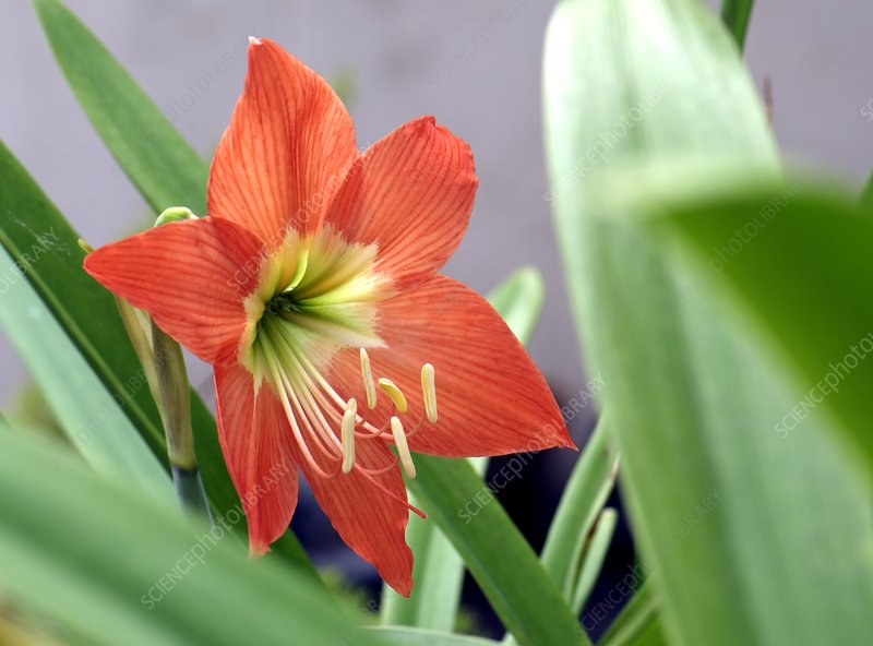 Hippeastrum sp. flower