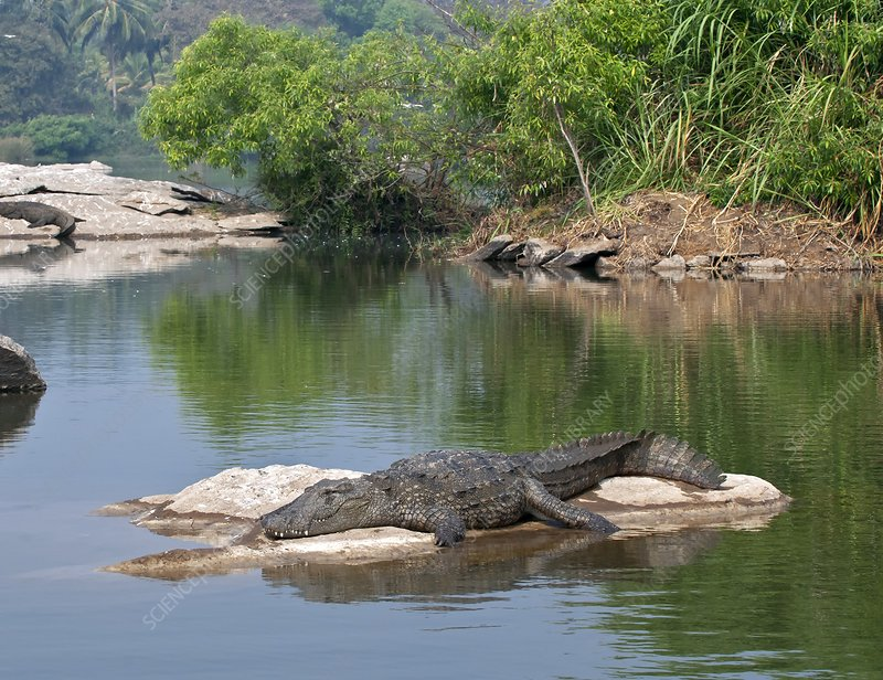 Marsh crocodile