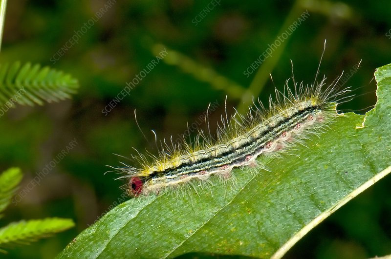 Moth caterpillar on a leaf