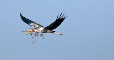 Painted stork with nest material