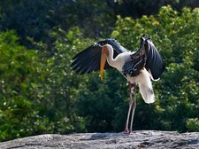 Painted stork drying its wings