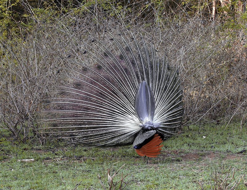 Indian peacock displaying