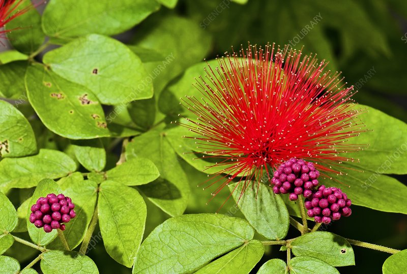 Calliandra emarginata in flower