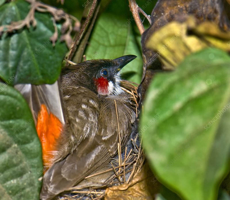 Red-whiskered bulbul on nest
