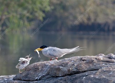 Indian river tern feeding chick