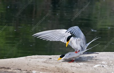 Indian river terns mating