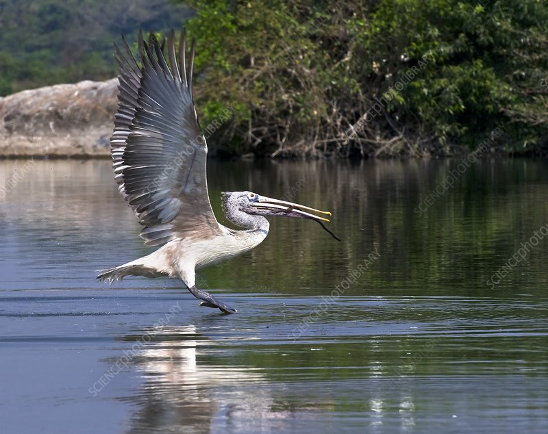 Spot-billed pelican taking off
