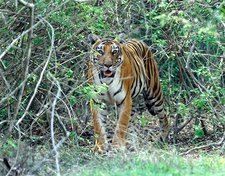Bengal tigress in the bush