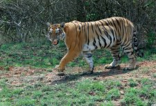 Bengal tigress