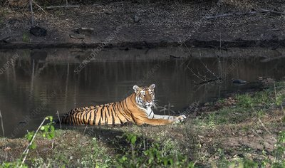 Bengal tigress resting in a pool