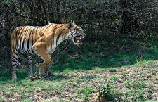 Bengal tigress snarling