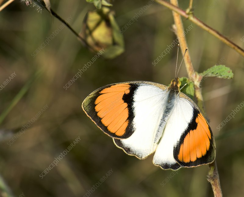 Male white orange tip butterfly