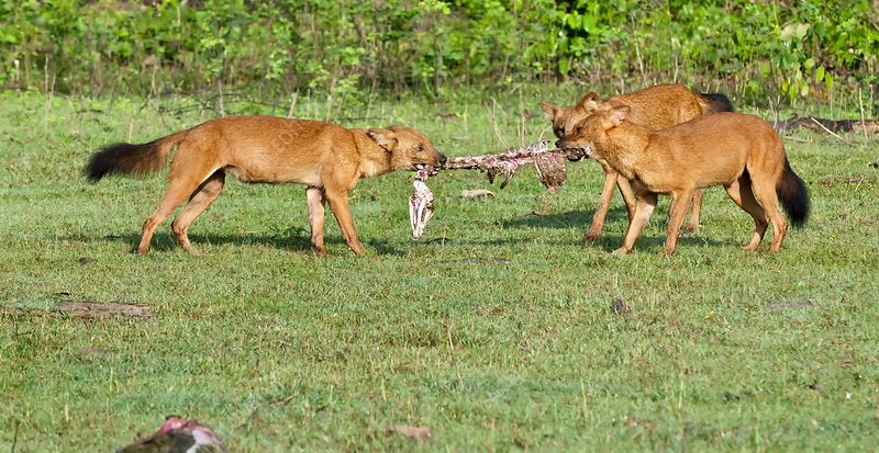 Wild dogs playing with a carcass