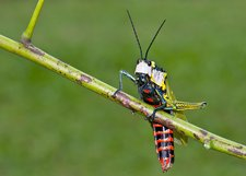 Northern spotted grasshopper