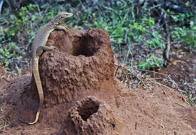 Bengal monitor on a termite mound