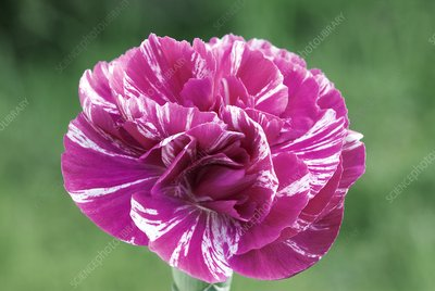 Dianthus 'Cosmic Swirl Pink'