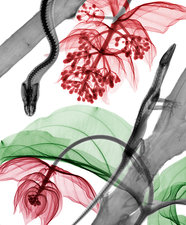 Medinilla flowers and reptiles, X-ray