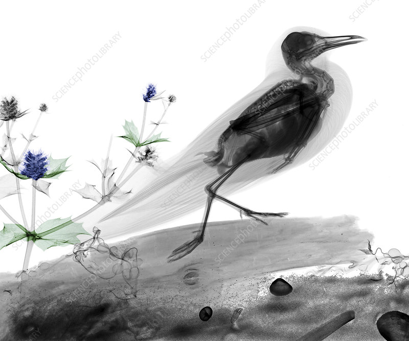 Seagull and sea holly, X-ray