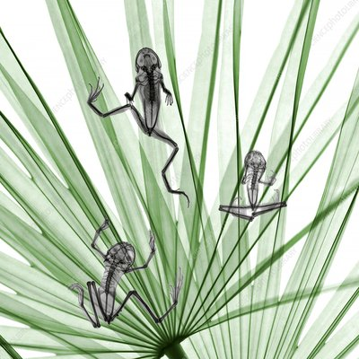 Frogs on palm leaves, X-ray