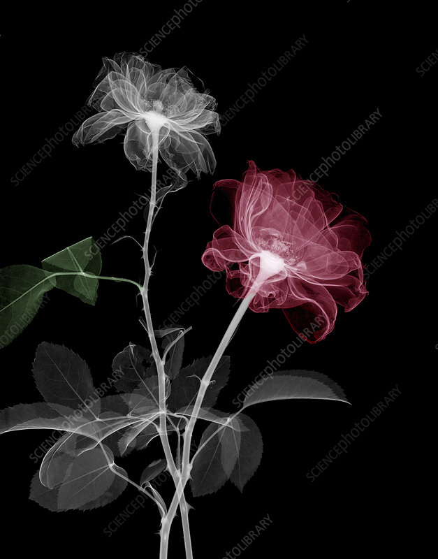 Rose flowers, X-ray