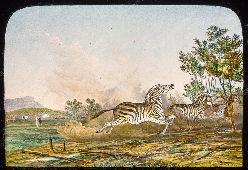 Hunting quagga, 19th century