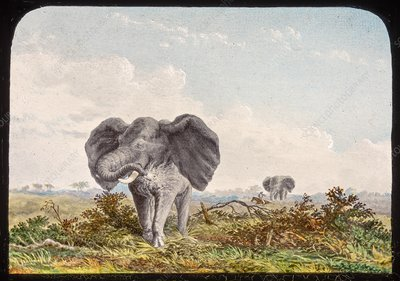African elephant, 19th century