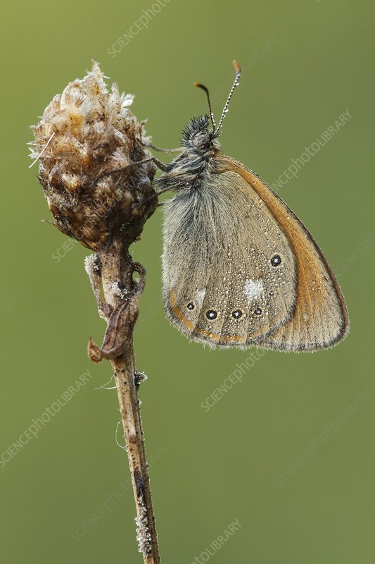 Chestnut Heath Butterfly