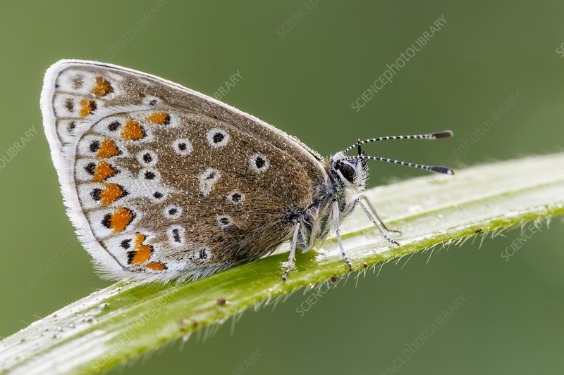 Common Blue Butterfly