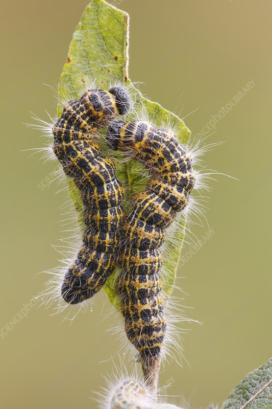 Buff-tip caterpillars