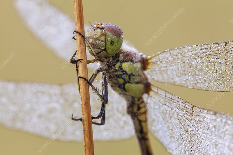 Common Darter Dragonfly