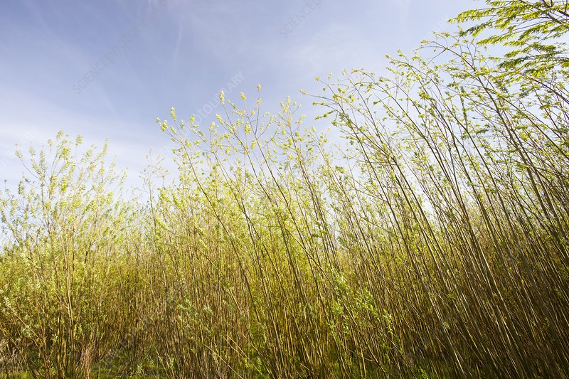 Willow trees being grown as biofuel