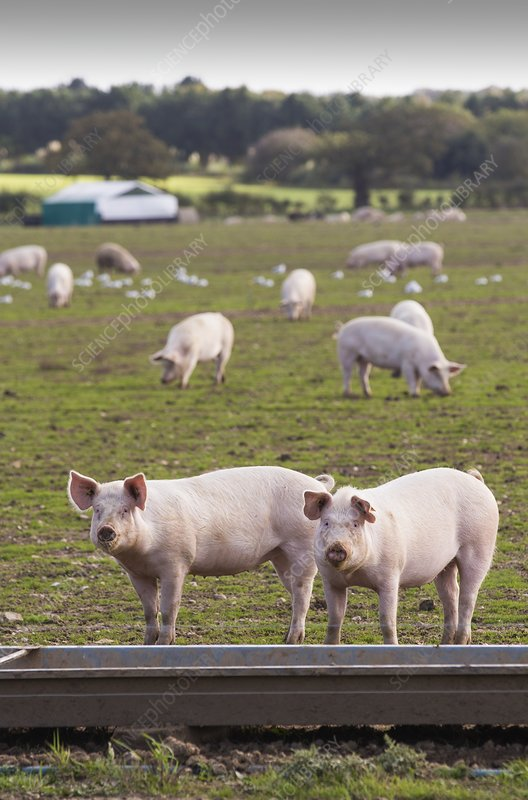 Free range pigs on a farm