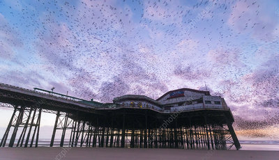 Starling flock over Blackpool North Pier