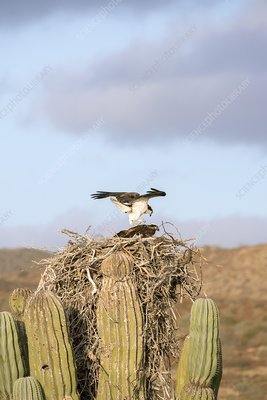Ospreys nesting in a cactus