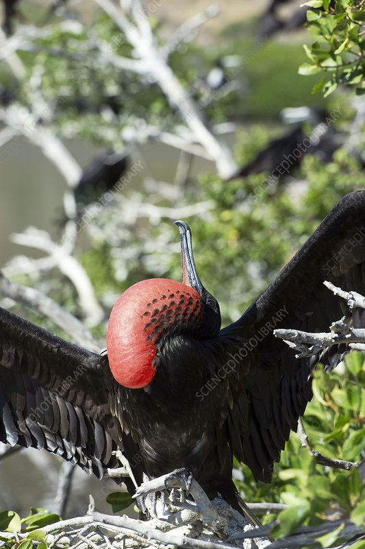 Magnificent frigatebird displaying