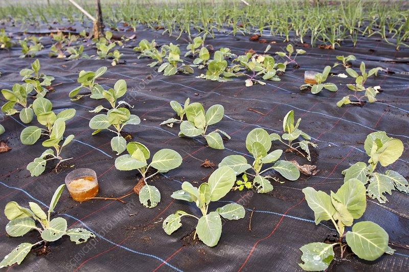 Organic cabbage crop
