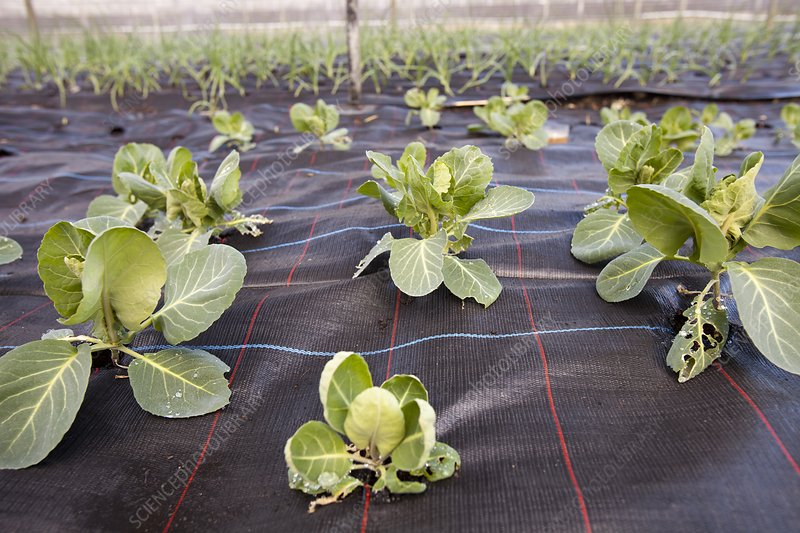 Organic cabbage crop