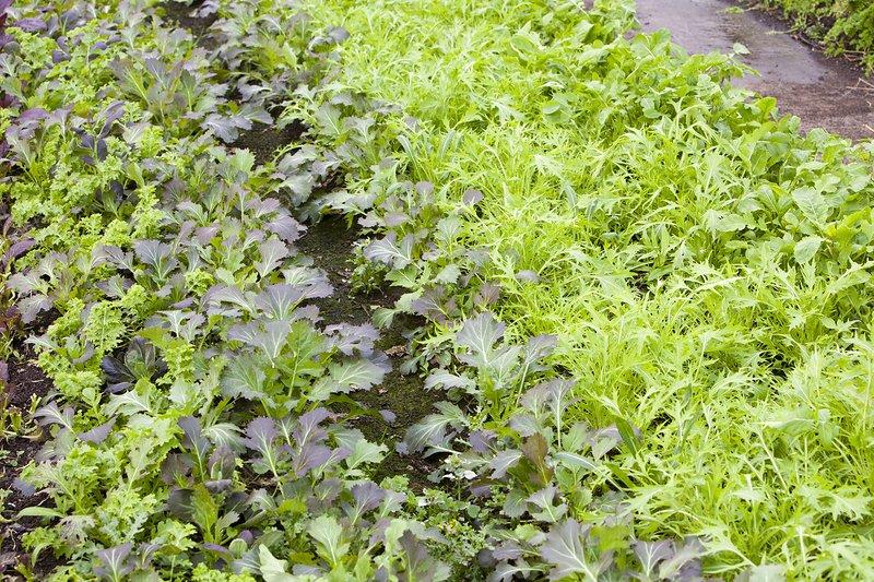 Organic salad crops