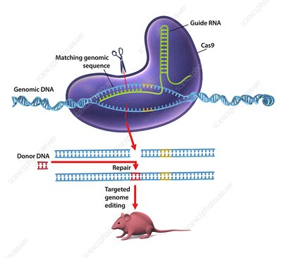 CRISPR-Cas9 gene editing, diagram
