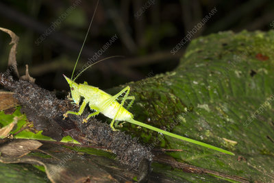 Conehead katydid with long ovopositor
