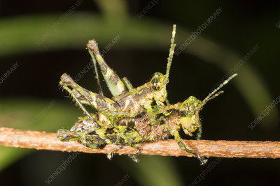 Amazonian grasshoppers mating