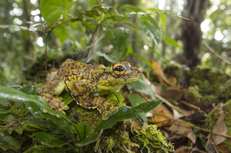 Canelos Treefrog