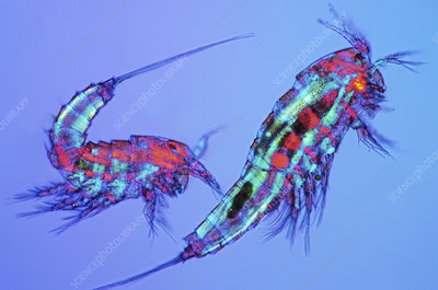 Copepods, light micrograph