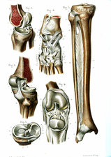 Knee and ankle joints, illustration