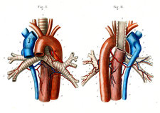 Aortic arch, 19th Century illustration
