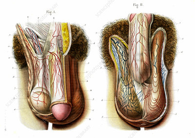 Male genitals, 19th Century illustration