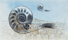 Reconstruction of ammonite, illustration